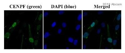 Immunocytochemistry/ Immunofluorescence - Anti-CENPF antibody (ab5)