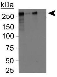 Western blot - Anti-CENPF antibody (ab5)