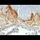 Immunohistochemistry (Formalin/PFA-fixed paraffin-embedded sections) - Anti-Involucrin antibody [SY5] (ab68)