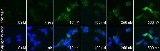 Immunocytochemistry/ Immunofluorescence - Anti-Bcl-2 antibody [100/D5] (ab692)