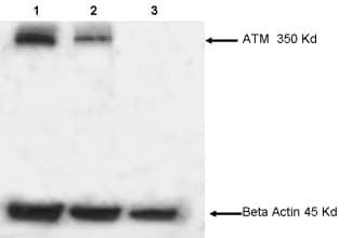 Western blot - Anti-ATM antibody [2C1 (1A1)] (ab78)