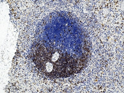 Immunohistochemistry (Formalin/PFA-fixed paraffin-embedded sections) - Anti-CD3 antibody (ab828)