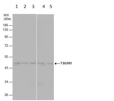 Western blot - Anti-TSG101 antibody [4A10] (ab83)