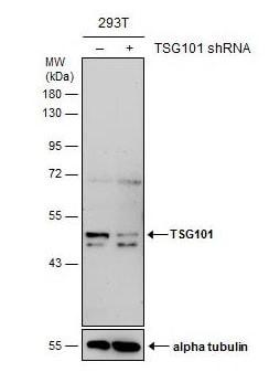 Western blot - Anti-TSG101 antibody [4A10] - BSA and Azide free (ab83)