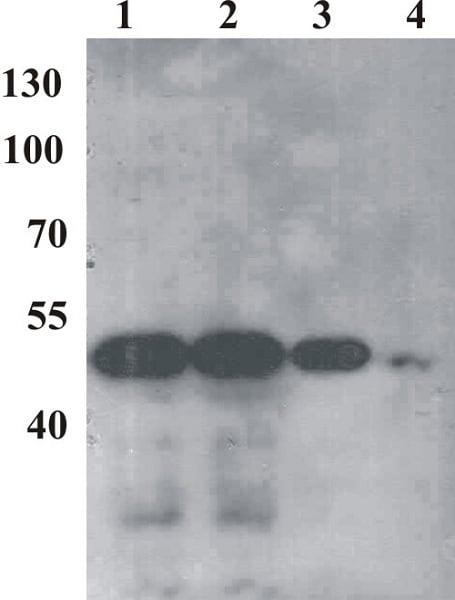 Western blot - Anti-Bovine Papilloma Virus E2 antibody [1E4] (ab980)