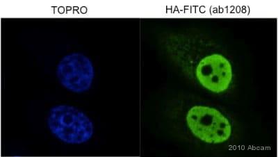 Immunocytochemistry/ Immunofluorescence - FITC Anti-HA tag antibody (ab1208)