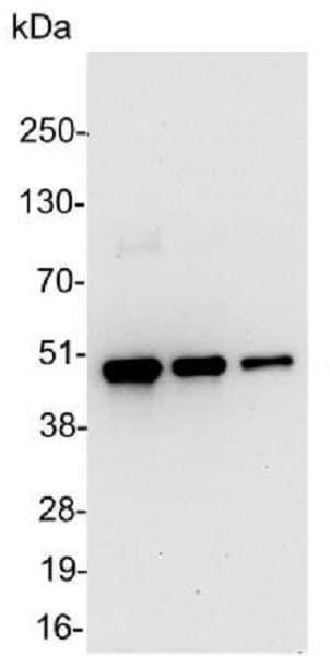 Western blot - HRP Anti-V5 tag antibody (ab1325)