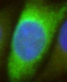 Immunocytochemistry/ Immunofluorescence - Anti-HA tag antibody [12CA5] (ab1424)
