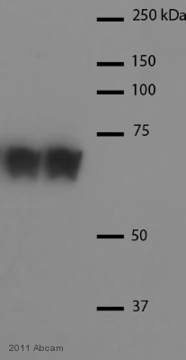 Western blot - Anti-Hsc70 antibody (ab1427)
