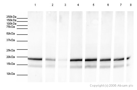 Western blot - Human Histone H3 (mono methyl K27) peptide (ab1780)