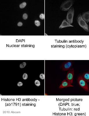 Immunocytochemistry/ Immunofluorescence - Anti-Histone H3 antibody - Nuclear Loading Control and ChIP Grade (ab1791)