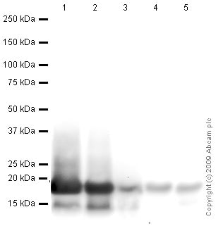 Western blot - Anti-Histone H3 antibody - Nuclear Loading Control and ChIP Grade (ab1791)