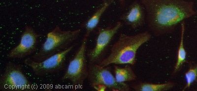 Immunocytochemistry/ Immunofluorescence-ADAM10 antibody(ab1997)