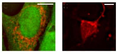 Immunocytochemistry/ Immunofluorescence - Anti-AIF antibody - Mitochondrial Marker (ab1998)