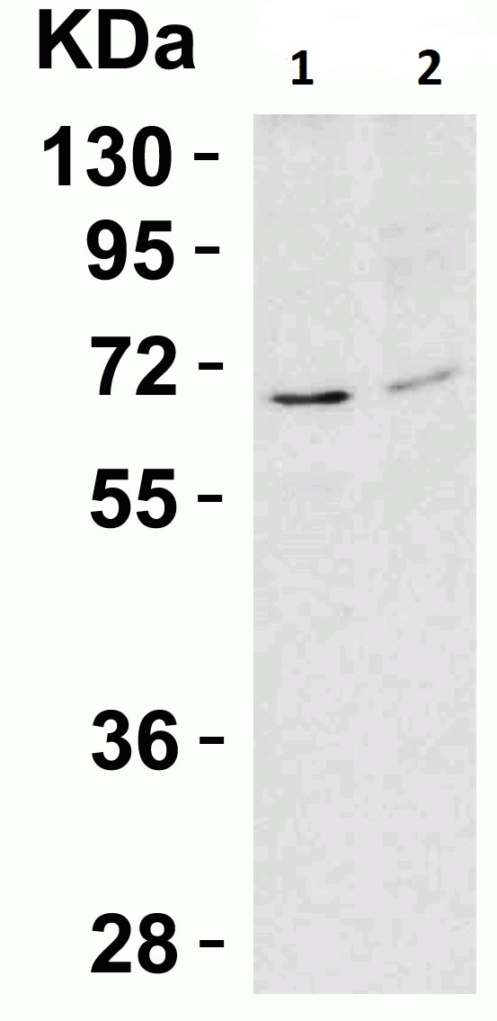 Western blot - Anti-AIF antibody - Mitochondrial Marker (ab1998)