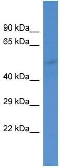 Western blot - Anti-GABA A Receptor alpha 5 antibody (ab10098)