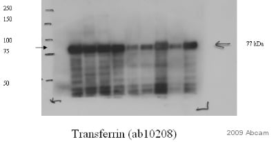 Western blot - Anti-Transferrin antibody [11D3] (HRP) (ab10208)