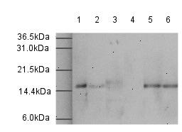 Western blot - Histone H3 peptide (ab10264)