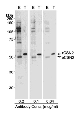 Western blot - Anti-TRIP15 antibody (ab10462)