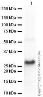 Western blot - Anti-HPRT antibody (ab10479)
