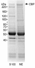 Immunoprecipitation - Anti-KAT3A / CBP antibody - ChIP Grade (ab10489)