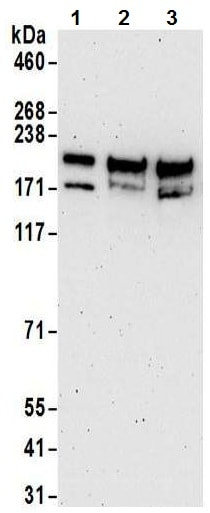 Western blot - Anti-KAT13C / NCOA2 antibody (ab10508)