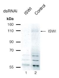 Western blot - Anti-ISWI (acetyl K753) antibody (ab10748)