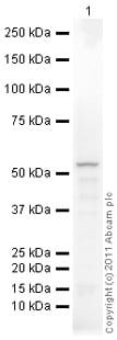 Western blot - Anti-DGAT1 antibody (ab100982)