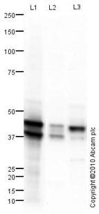 Western blot - Anti-Cytokeratin 19 antibody (ab101255)
