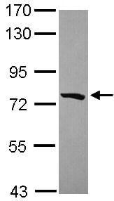 Western blot - Anti-PCDHGB5 antibody (ab101343)
