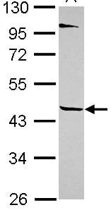Western blot - Anti-TEKT1 antibody (ab101390)