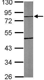 Western blot - Anti-TTLL10 antibody (ab101438)
