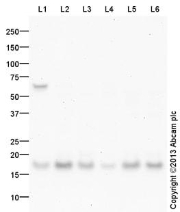 Western blot - Anti-UBE2V1 antibody (ab101476)
