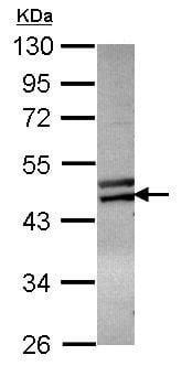 Western blot - Anti-ZNF439 antibody (ab101497)