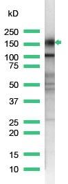 Western blot - Anti-CD43 antibody [SP55], prediluted (ab101534)