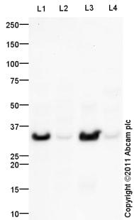 Western blot - Anti-HELT antibody (ab101842)