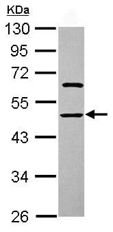 Western blot - Anti-ENOSF1 antibody (ab102474)