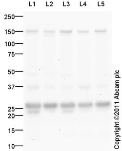 Western blot - Anti-METTL11A antibody (ab102664)