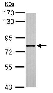 Western blot - Anti-ABCF3 antibody (ab102685)