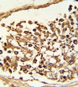 Immunohistochemistry (Formalin/PFA-fixed paraffin-embedded sections) - KDM4B / JMJD2B antibody (ab103129)