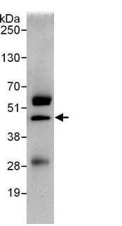Immunoprecipitation - SAE1  antibody (ab103522)