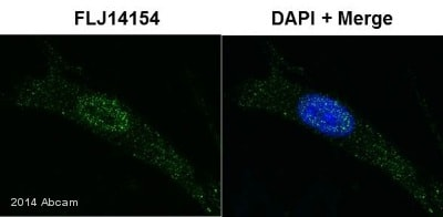 Immunocytochemistry/ Immunofluorescence - Anti-FLJ14154 antibody (ab103800)