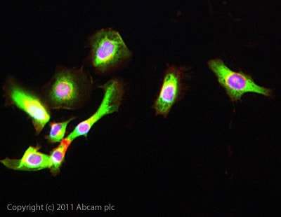 Immunocytochemistry/ Immunofluorescence - Anti-FLRT1 antibody (ab103839)