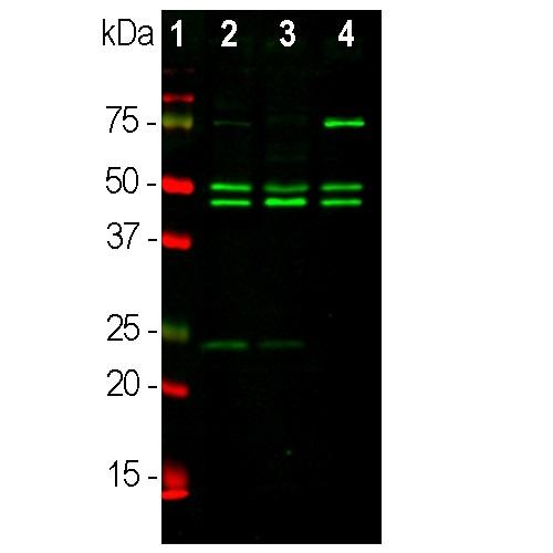 Western blot - Anti-NeuN antibody [1B7] - Neuronal Marker (ab104224)