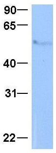 Western blot - Anti-Methionine Aminopeptidase 2 antibody (ab104665)