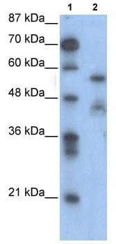 Western blot - Anti-NFIA antibody (ab104967)