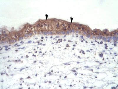 Immunohistochemistry (Formalin/PFA-fixed paraffin-embedded sections) - Thyroid Hormone Receptor alpha 1+2 antibody (ab105003)
