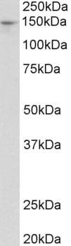 Western blot - Anti-PEX1 antibody (ab105027)
