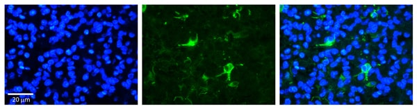 Immunohistochemistry (Formalin/PFA-fixed paraffin-embedded sections) - Anti-Fbxw7 antibody (ab105752)
