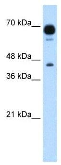 Western blot - Anti-PUS7 antibody (ab105790)